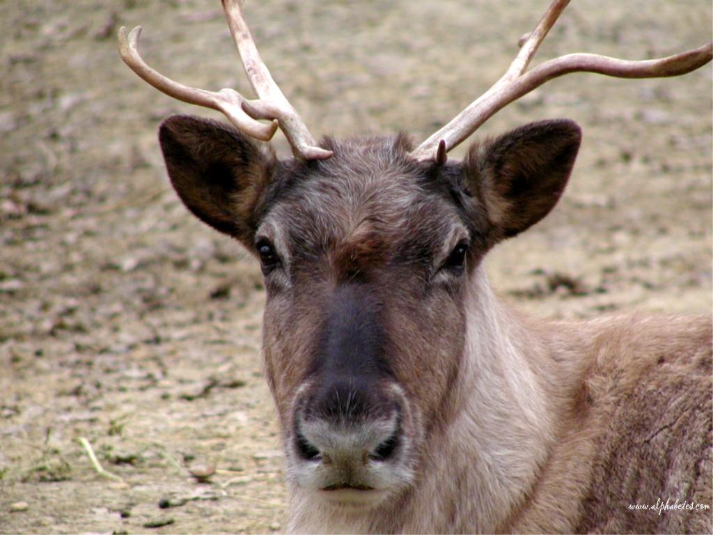 Enu-Man le caribou Caribou1m